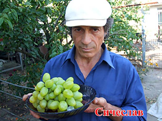 Надежда азос – синий столовый виноград