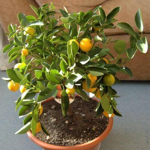 Понцирус трифолиата: полезные свойства плодов колючего лимона и выращивание дикого цитруса в домашних условиях