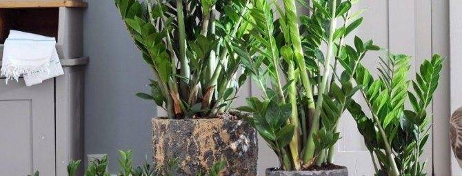 В какой горшок нужно сажать замиокулькас? критерии выбора лучшей емкости для посадки долларового дерева