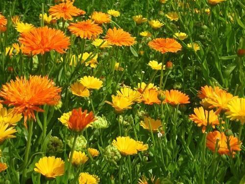 Посадка календулы воткрытый грунт семенами ирассадой, уход зарастением, сбор семян