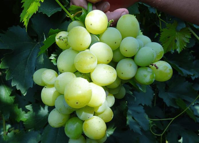 Виноград ягуар описание сорта фото отзывы видео