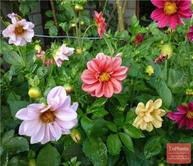 Георгины однолетние - посадка и уход, секреты выращивания