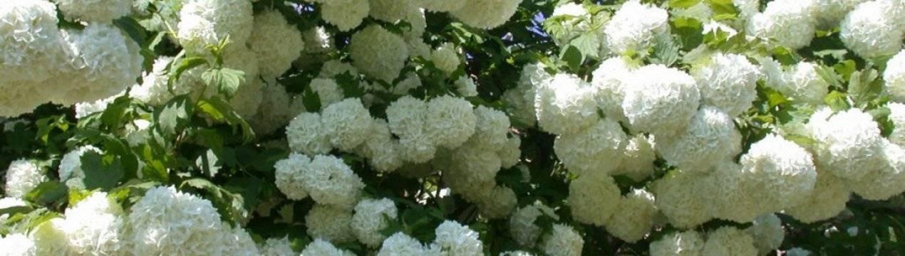 Калина бульденеж в ландшафтном дизайне: белые шары снега в весеннем саду