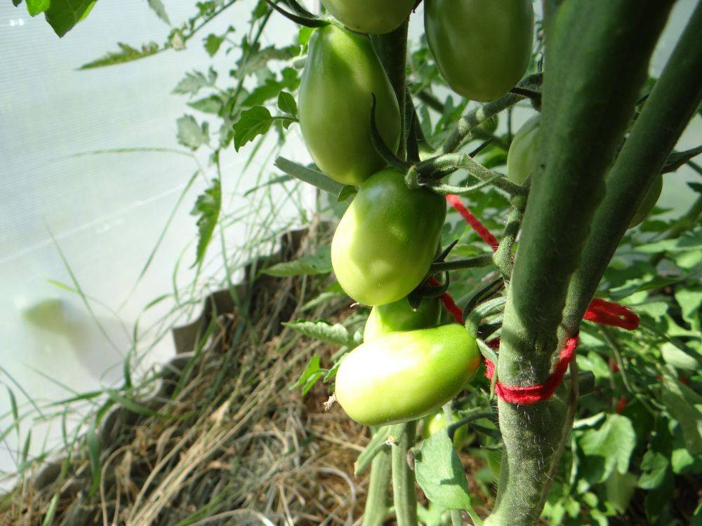 Томат «черный мавр»: характеристика и описание сорта с фото, отзывы. посадка и уход за помидорами