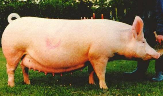 Все о крупной белой породе свиней – в чем секрет популярности