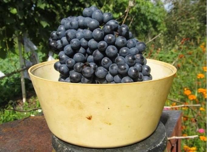 """Виноград """"красень"""" описание и характеристика сорта, достоинства недостатки и агротехника выращивания"""