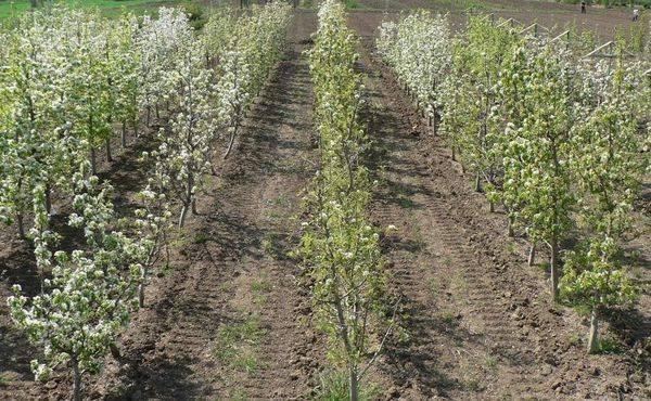 Как заставить грушу плодоносить: профилактические меры для устранения проблемы