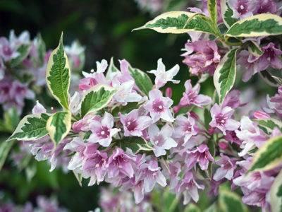 Вейгела: посадка и уход в открытом грунте, выращивание из семян