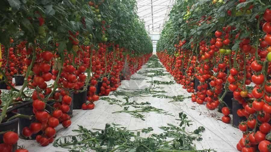 Правильная посадка рассады томатов в теплицу из поликарбоната: технология и схема