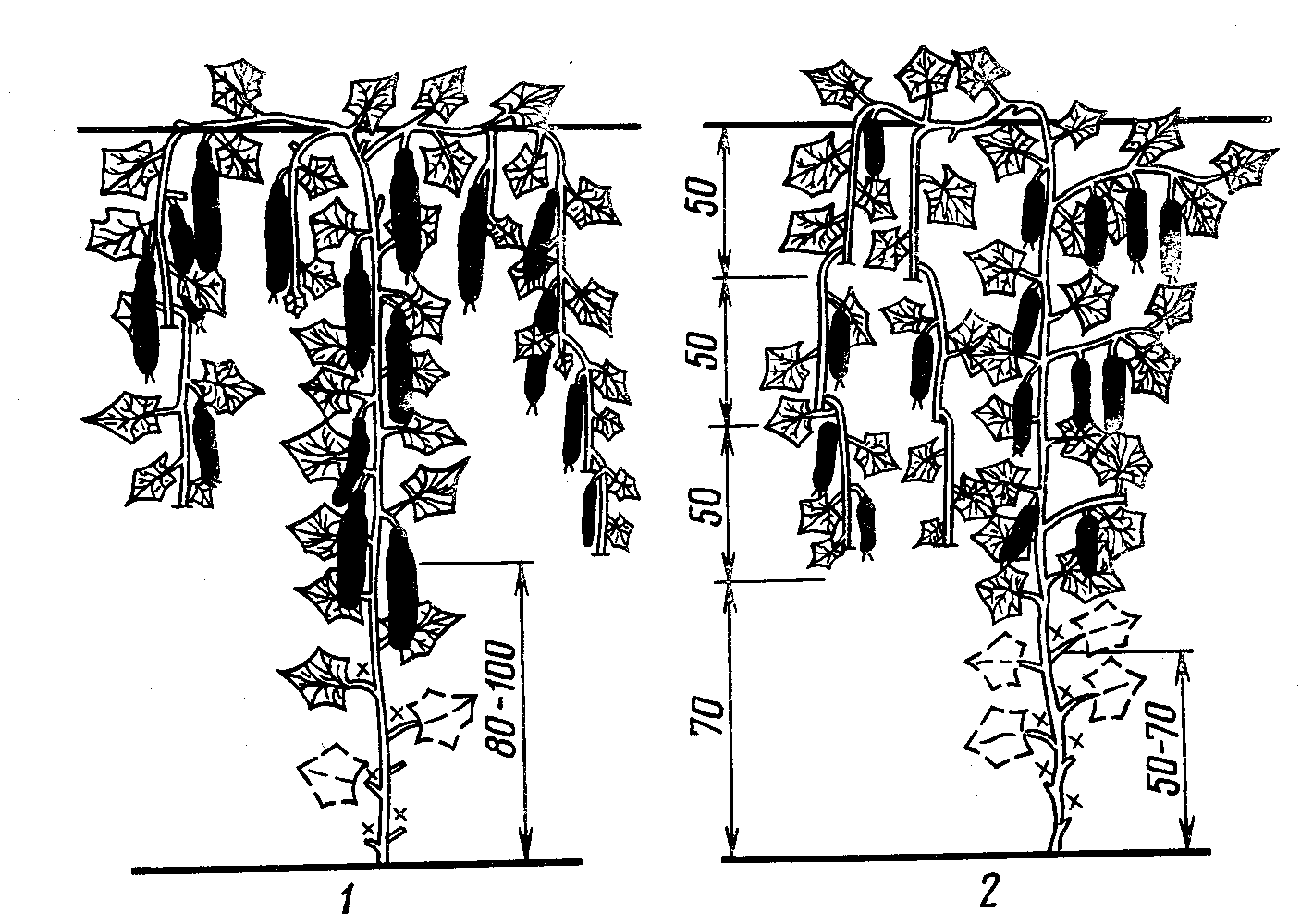 Схема обрезки огурцов в теплице и открытом грунте