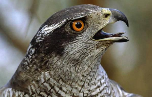 Перепелятник птица. образ жизни и среда обитания перепелятника