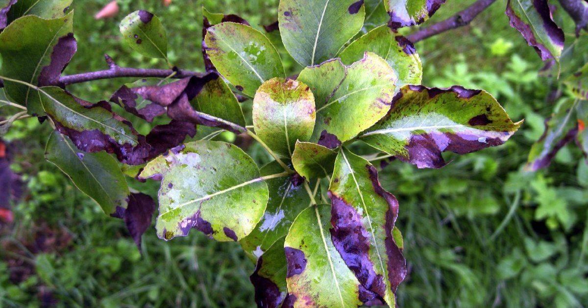 Почему на листьях яблони появляются ржавые пятна, как бороться