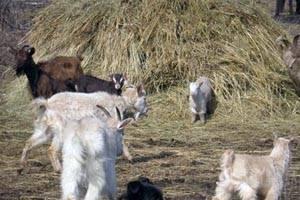 Понос у козлят и коз - чем лечить и как остановить болезнь после окота 2021