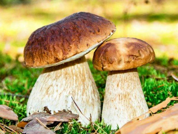 Съедобные и ядовитые грибы карелии 2020