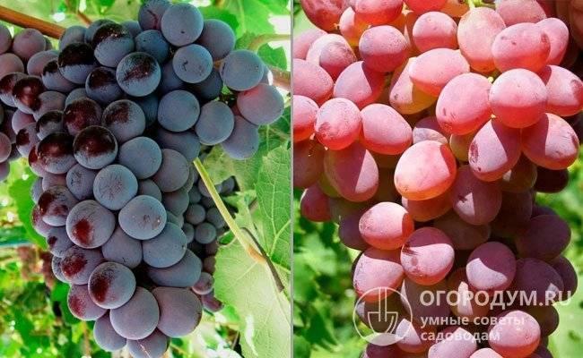 Кишмиш лучистый, описание сорта и особенности выращивания винограда