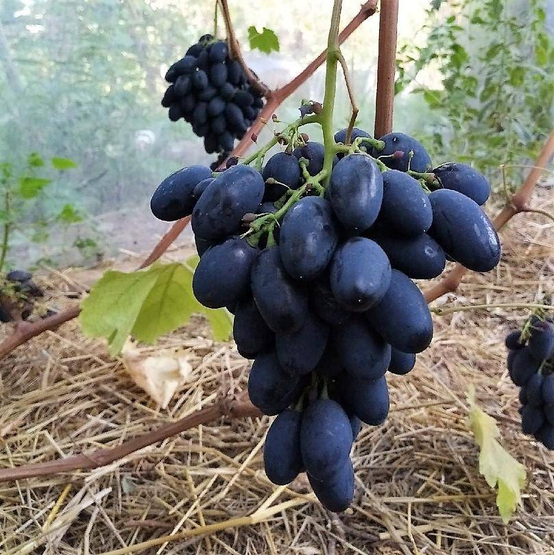 Виноград кодрянка: описание сорта, фото, отзывы