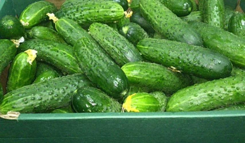 Огурцы емеля f1: отзывы, описание сорта и фотографии, преимущества и недостатки, выращивание и уход