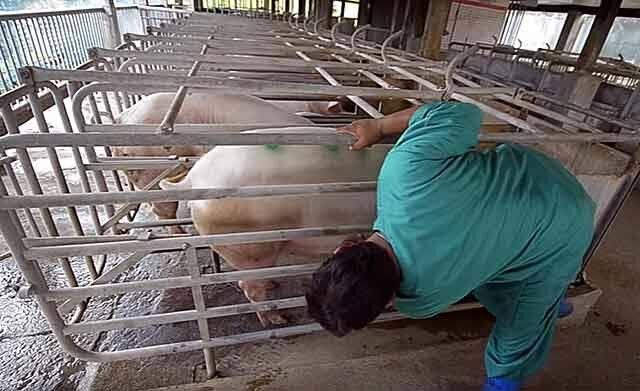 Опорос свиней в домашних условиях и период беременности: уход и содержание поросят