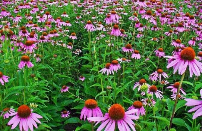 Эхинацея - популярное растение для вашего цветника: сорта с фото и все секреты выращивания