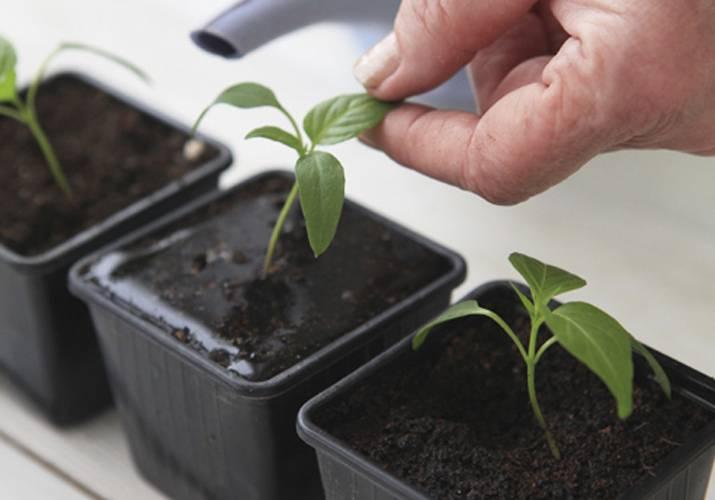 Опадают семядольные листья у рассады перца: почему, что делать - про сорта
