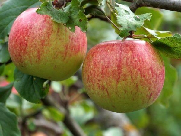 Характеристика яблони сорта ветеран
