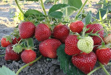 Клубника «Альбион»: описание сорта, фото, отзывы садоводов