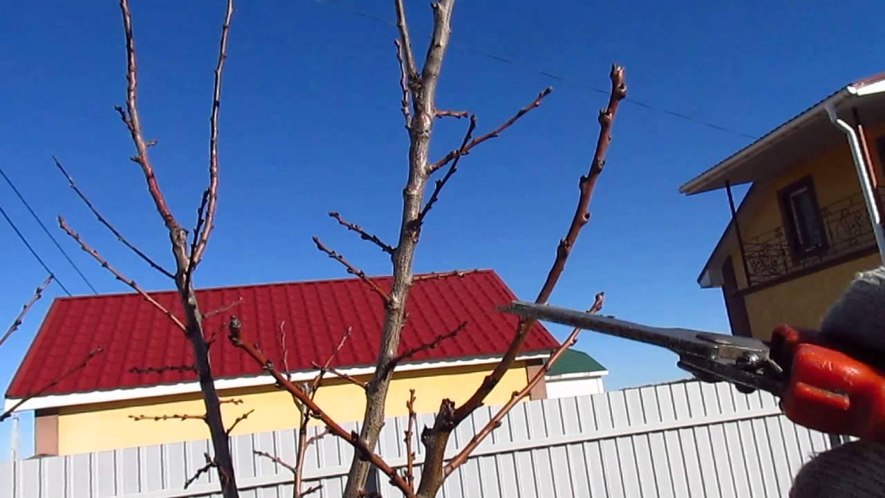 Как обрезать абрикос осенью: полезные советы
