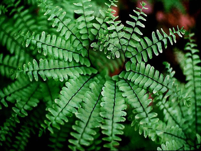 Адиантум (47 фото): венерин волос и стоповидный, уход за комнатным растением в домашних условиях. «радди», «фрагранс» и другие сорта