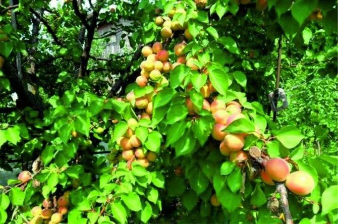 Как проводится обрезка абрикоса осенью — видео для начинающих