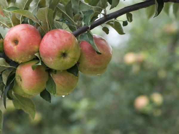 Описание сорта яблони услада: фото, отзывы и посадка