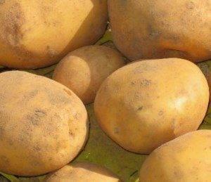 Сорта картофеля для восточно-сибирского региона: список
