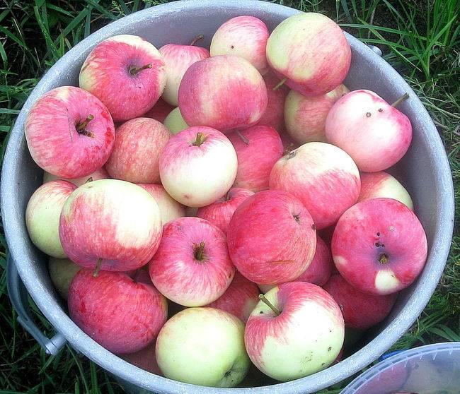 Яблоня мельба: описание сорта, фото яблок, важные характеристики, урожайность с дерева