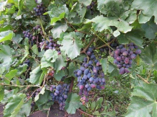 Виноград гала, описание сорта