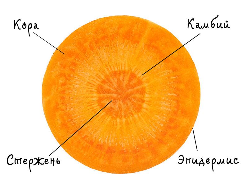 Почему морковь корявая: как вырастить стройную морковку | огородники