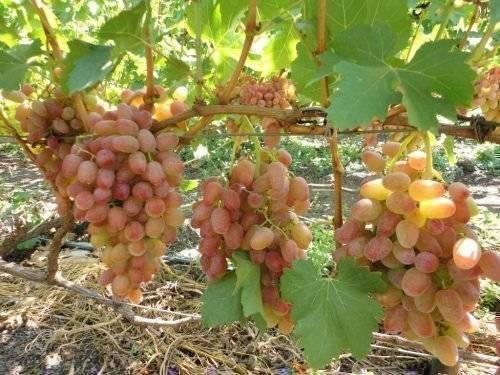 Виноград «триумф»: фото, описание сорта, отзывы, особенности посадки и ухода
