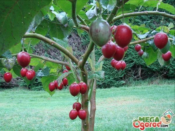 Как вырастить томатное дерево в открытом грунте и теплице