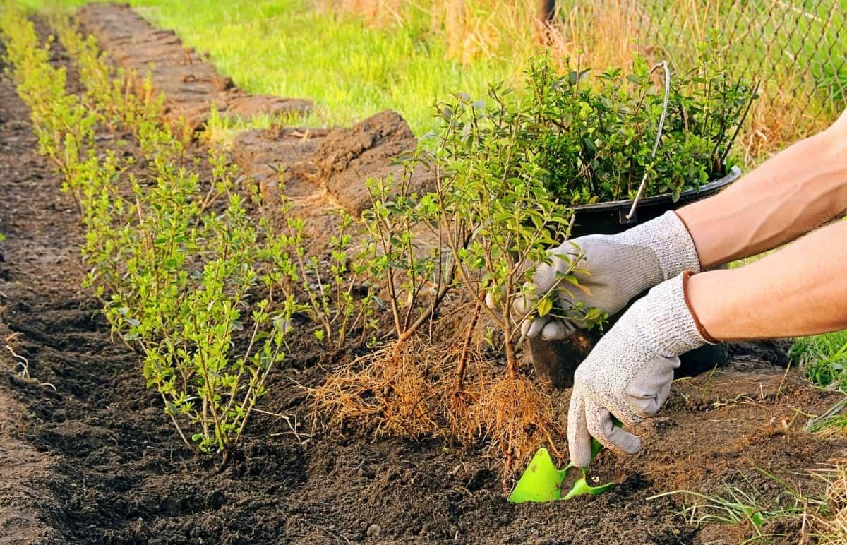 Как размножить боярышник: эффективные способы вырастить кустарник с полезными ягодами без финансовых затрат - квартира, дом, дача - медиаплатформа миртесен