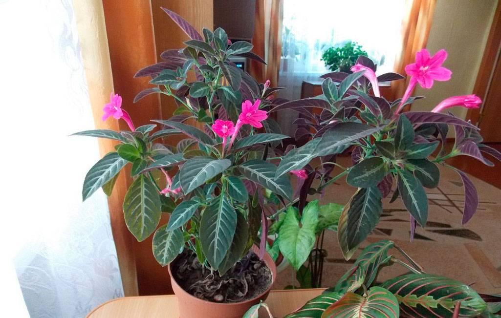 Руэллия - фото цветка, уход в домашних условиях, размножение растения, болезни
