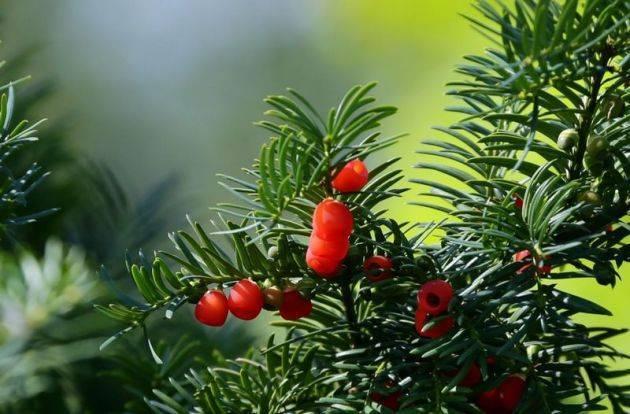 Тис ягодный (49 фото): описание тиса «репанденс» и «элегантиссима», другие сорта дерева в ландшафтном дизайне. уход и посадка