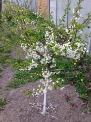 Вишня драгоценный кармин фото. вишня драгоценный кармин — изюминка вашего сада