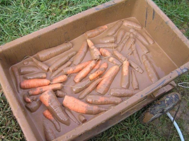Как хранить морковь на зиму в банках 3-литрового объема или иными способами в погребе: рекомендации хозяйкам русский фермер