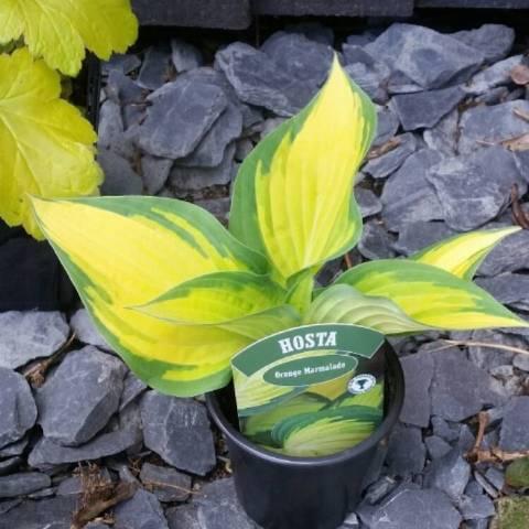 Хоста Оранж Мармелад — пестрое растение