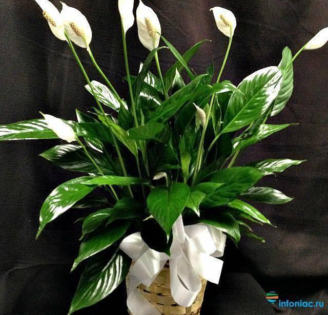 Цветок женское счастье - спатифиллум на фото. как ухаживать за спатифиллумом в домашних условиях