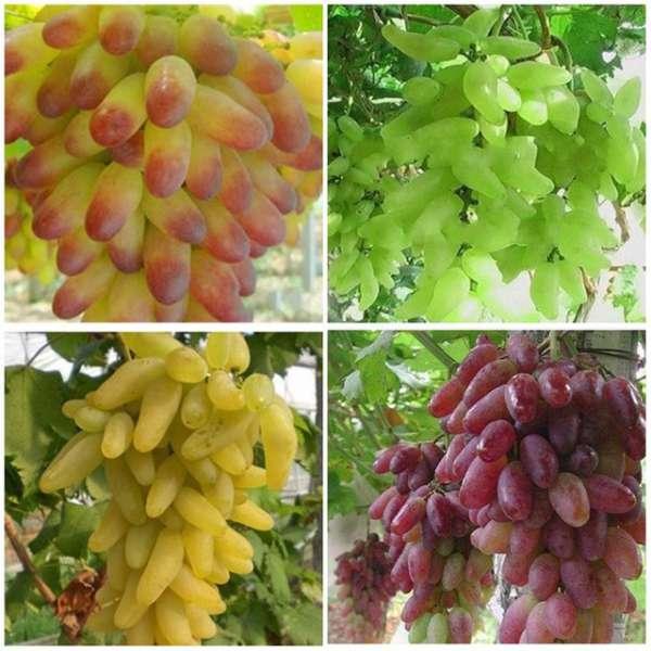 Виноград маникюр фингер: описание сорта, фото, отзывы — selok.info
