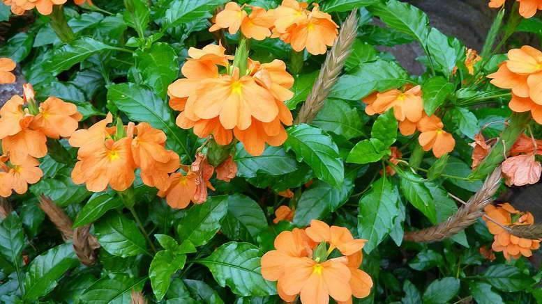 Цветок кроссандра - подробности ухода за тропической красавицей