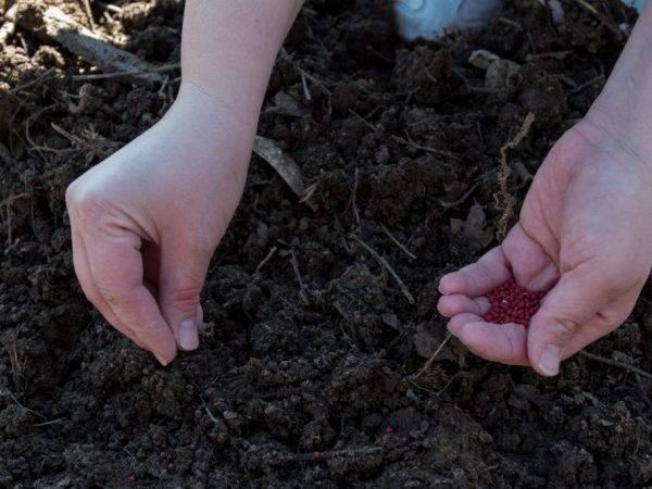 Морковь через рассаду: как выглядит посевной материал на фото, можно ли использовать этот способ выращивания, а также когда и как помещать всходы в открытый грунт? русский фермер