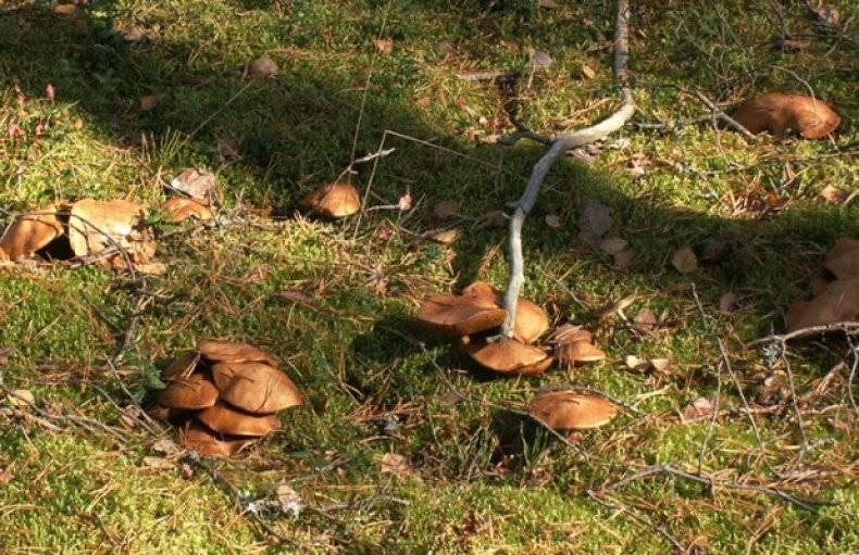 Козляк — описание, виды, ядовитость гриба