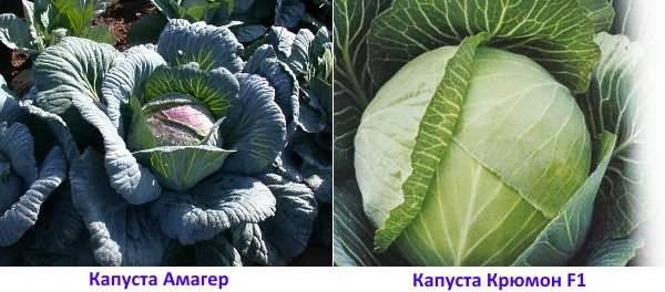 Лучшие сорта капусты для хранения на зиму: виды позднеспелой (озимой) капусты для длительного хранения, особенности выращивания поздних сортов