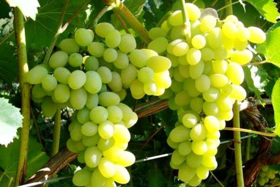 Неприхотливый девичий виноград: посадка, уход, размножение