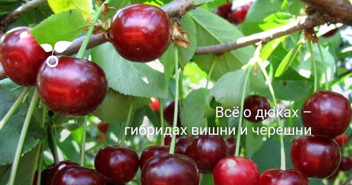 Чудо-вишня — гибрид вишни и черешни
